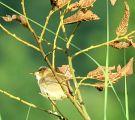 Eurasian Reed Warbler -