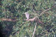 Black-crowned Night Heron -