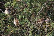 Red-backed Shrike -