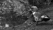 Red-crested Pochard -