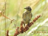 Whinchat -