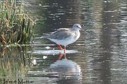 Spotted Redshank -