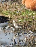 Curlew Sandpiper -
