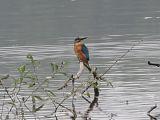 Common Kingfisher -