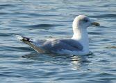 European Herring Gull -