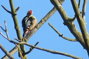 Middle Spotted Woodpecker -