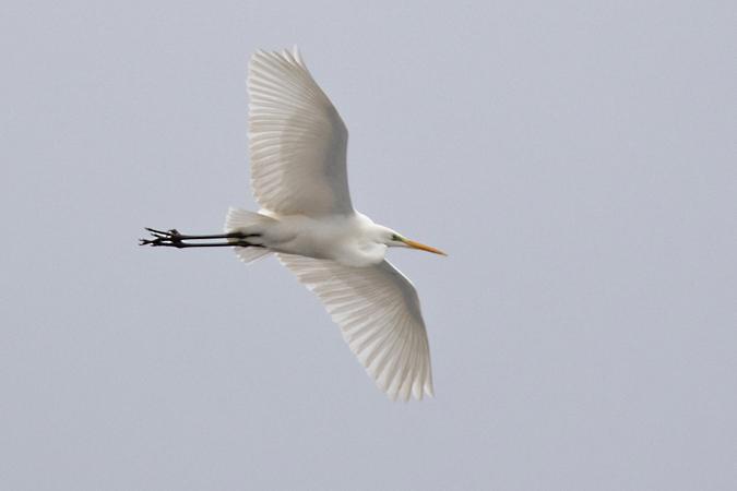 Great White Egret  - Wolfgang Ott