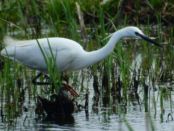 Little Egret  - René Schaack