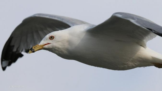 Ring-billed Gull  - Kepa Aldama