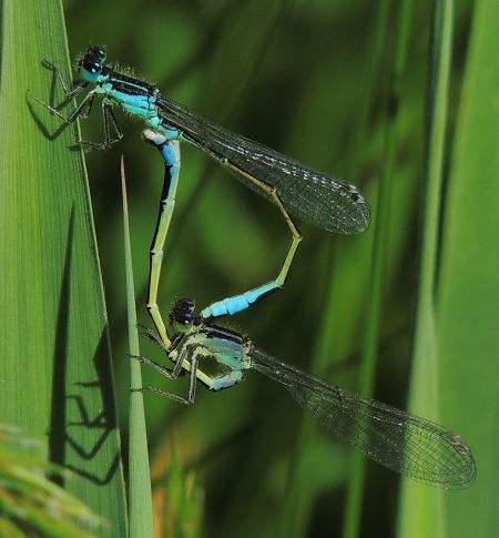 Common Bluetail  - Víctor Marugán
