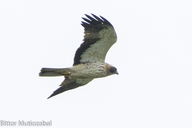 Booted Eagle  - Bittor Mutiozabal