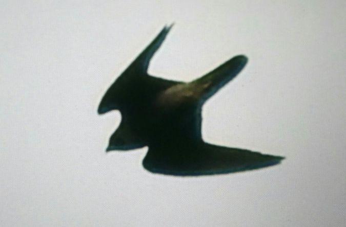 Peregrine Falcon  - Selene Gancedo