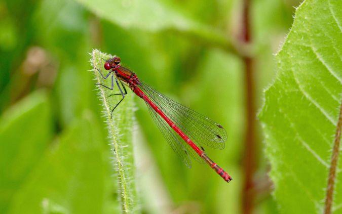 Pyrrhosoma nymphula  - Isabel Garnika