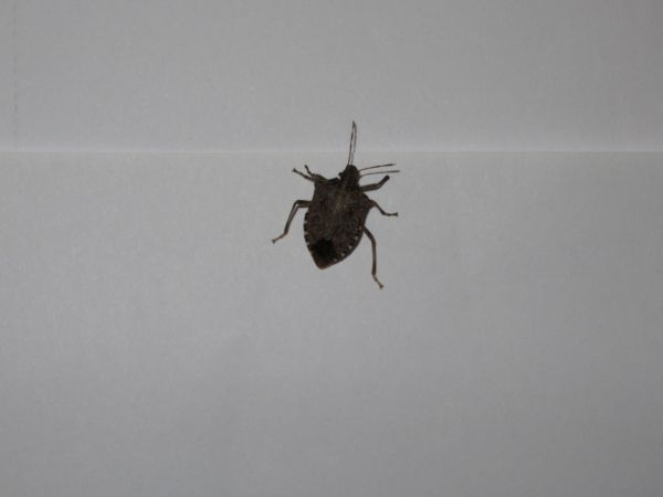 Brown Marmorated Stink Bug  - Lorenzo Lanzani