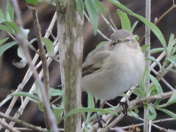 Luì piccolo siberiano (ssp.)  - Nicola Bonassin