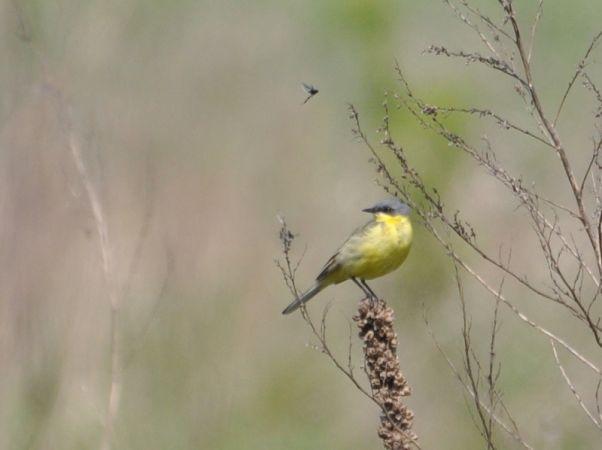 pliszka żółta (ssp. thunbergi)  - Łukasz Krajewski